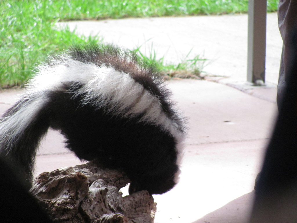 A skunk about to jump off of a perch