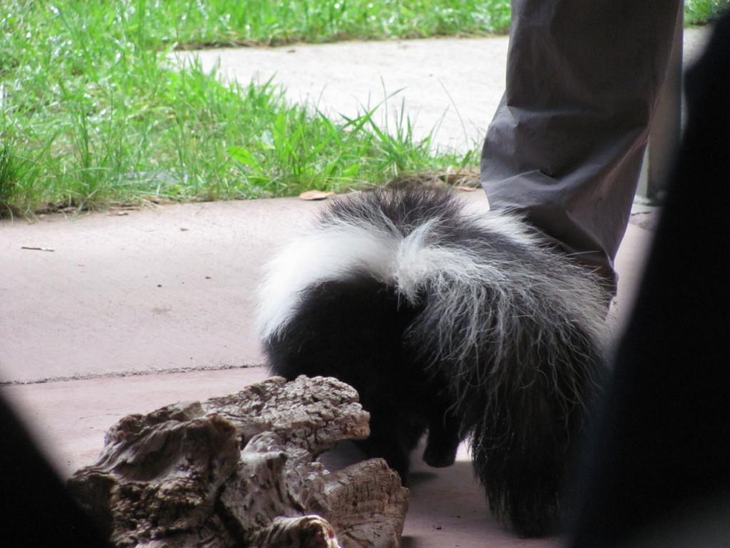 A cute looking skunk