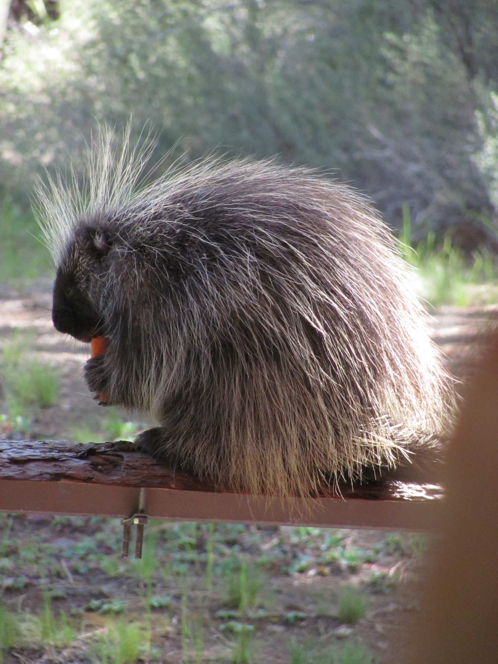 Cheerful looking porcupine eating a carrot.