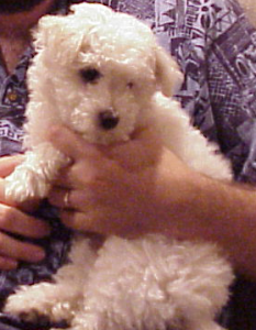 White bichon puppy looking away from the camera