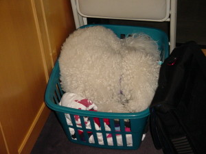 Puppy dog in a clothes basket