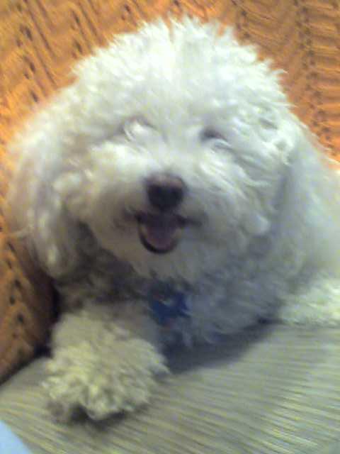 Smiling bichon frise