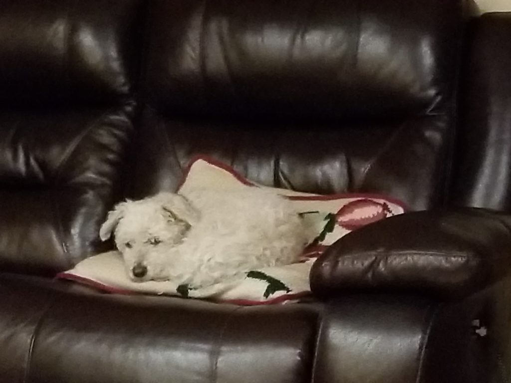 Cute small white dog on a pillow